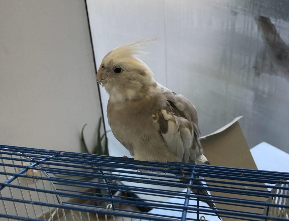 Puesta Crónica en Aves