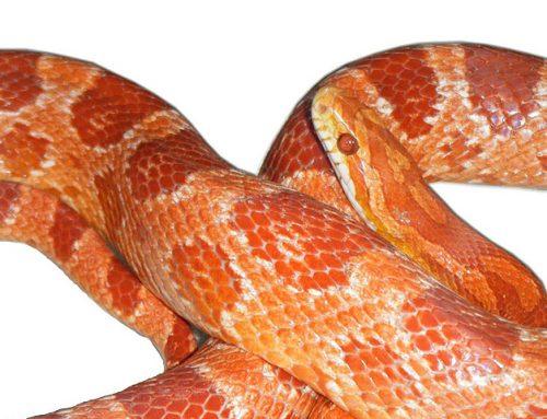 Serpiente del maizal