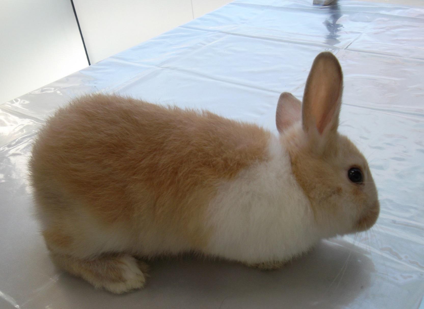 Tortícolis en conejo con Encephalitozoon cuniculi (ECUN)
