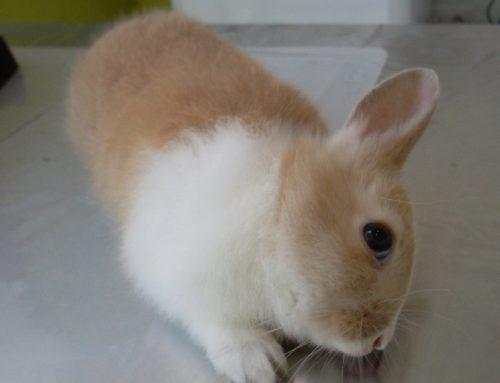 Encephalitozoon cuniculi en Conejo doméstico