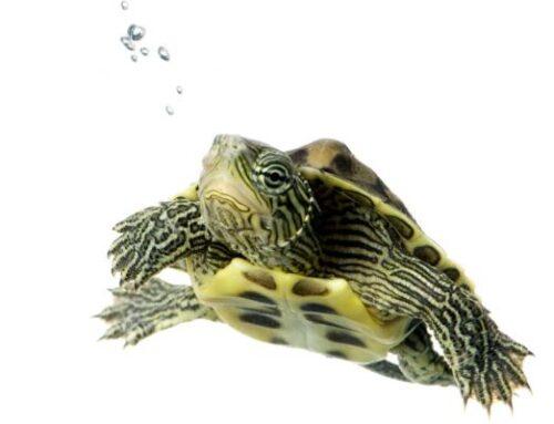 Cuidados básicos de las tortugas